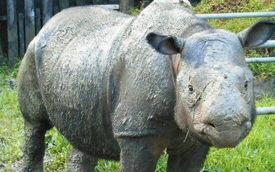 Imán, última hembra de rinoceronte de Sumatra está gravemente enferma