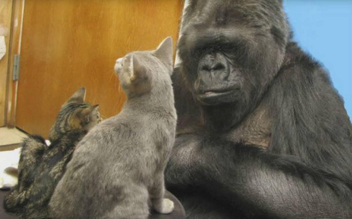 Muere Koko, la gorila que se comunicaba con lenguaje de señas
