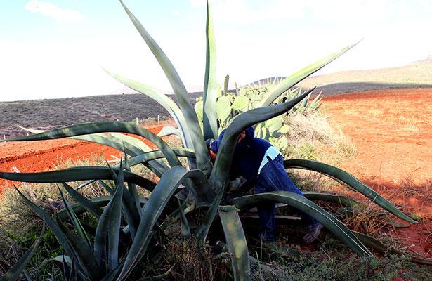 Productores de Tlaxcala pretenden registrar las variedades de maguey