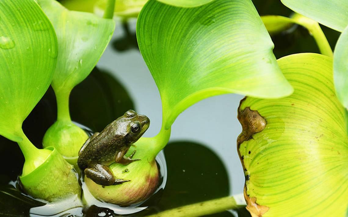 Pesca con futuro: Cultivan ranas sustentables