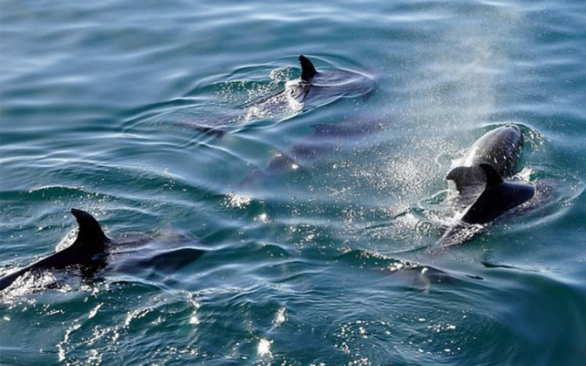 Usarán delfines entrenados para salvar a la vaquita marina
