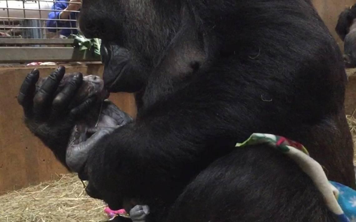 Nace gorila en peligro de extinción y es recibido a besos por su madre