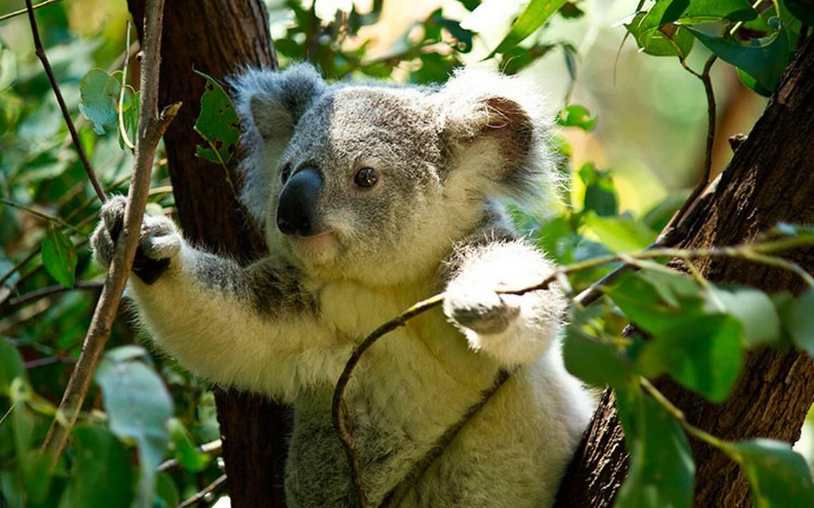 ¡Podrán salvar a los koalas! Logran descifrar el secreto de su genoma