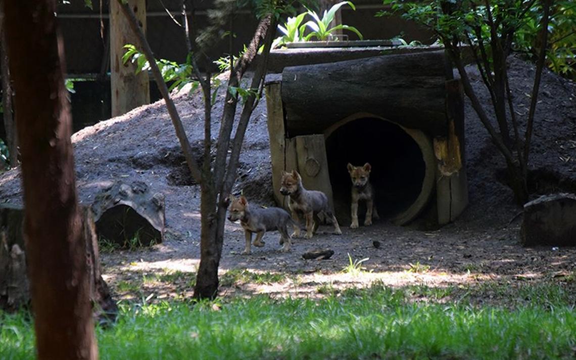 Zoológico de Los Coyotes recibe 8 crías de lobo mexicano