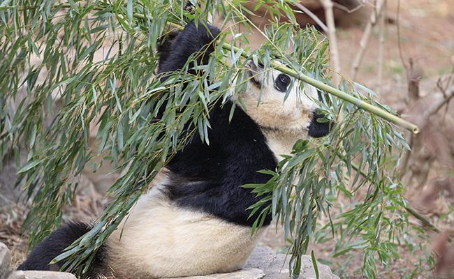 Mudan a Bao Bao, osa panda nacida en EU, a santuario en China
