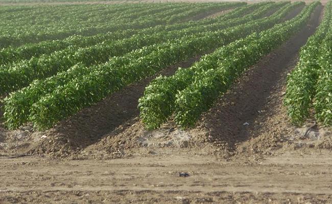 Políticas de EU reducen siembra de hortalizas en Altamira