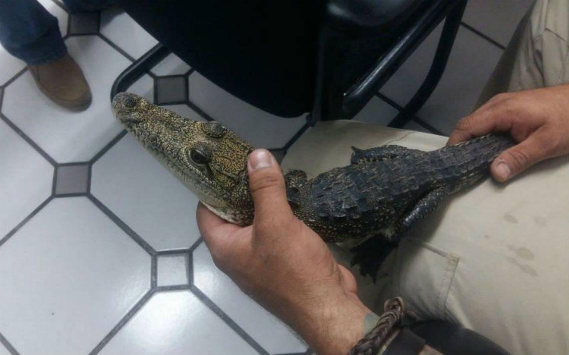 Aseguran cocodrilo Moreleti que era exhibido en carnicerA�a de Zapopan