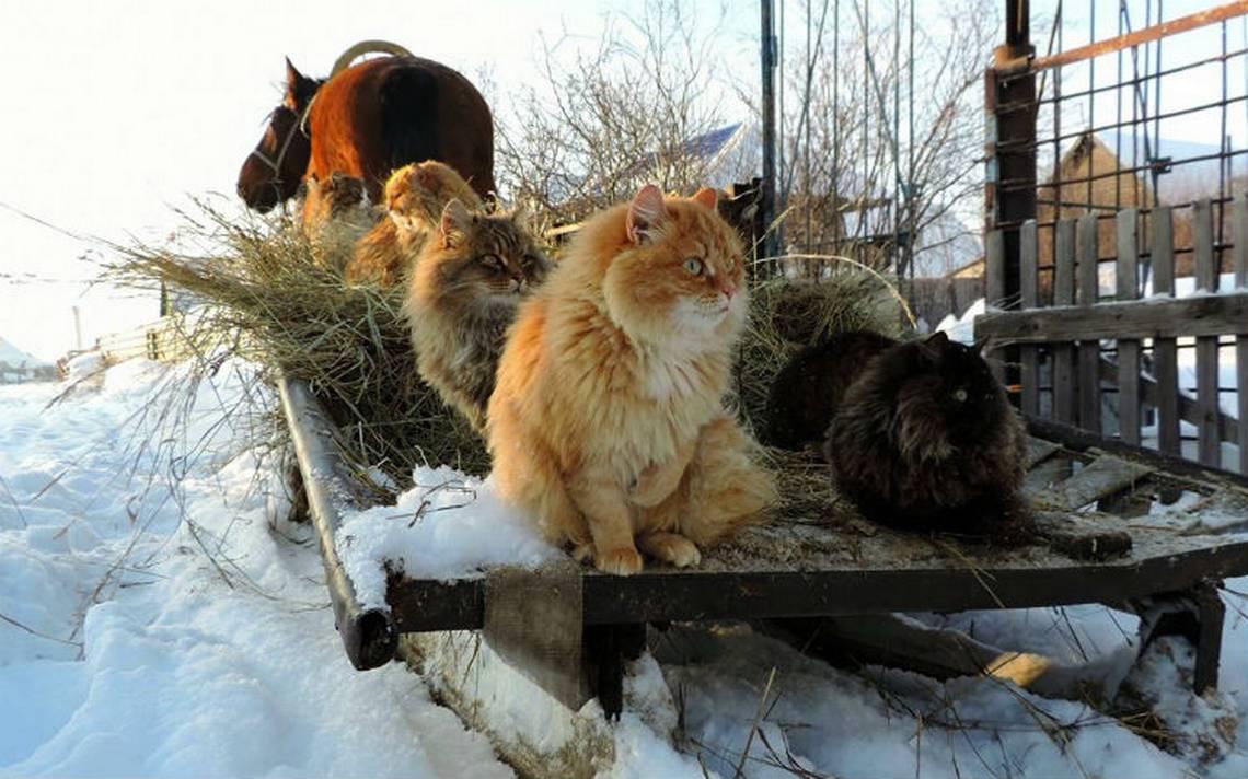 ¡Existe! La loca de los gatos de los Simpson y vive en Siberia