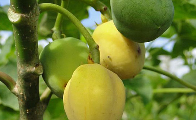 Fomentan cultivo de piñón en México para generar biocombustibles