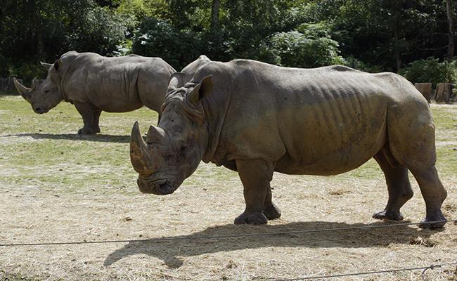 Matan a rinoceronte en zoo francés para robarle su cuerno