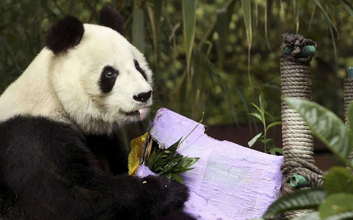 La panda Shuan Shuan cumple 31 años, vive en la CDMX y es única en Latinoamérica