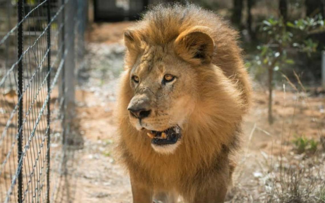 Al menos dos cazadores mueren devorados por leones en Sudáfrica
