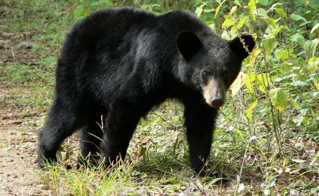 Oso negro irrumpe en casa de Monterrey y se come a la mascota