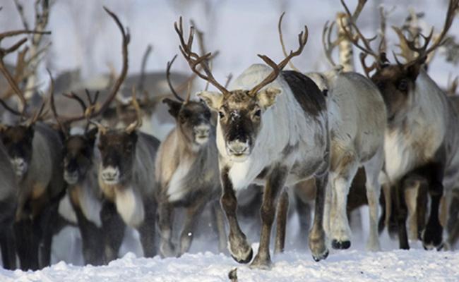 Afecta el cambio climático la supervivencia de renos en el mundo