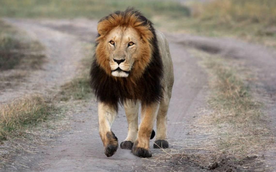 Mueren envenenados nueve leones en famoso parque de Serengeti en Tanzania