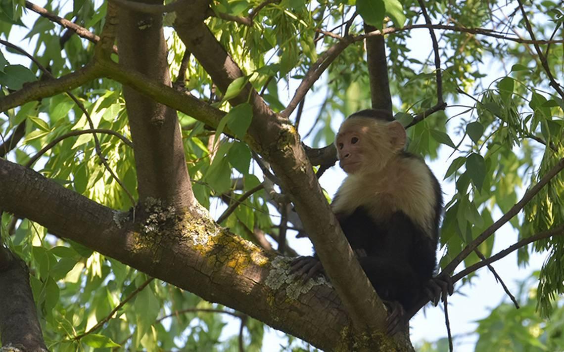 ¿Y qué pasó con el mono capuchino en Reforma?