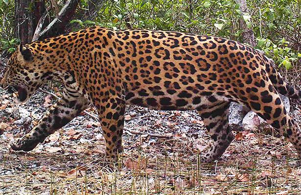 Policías matan a Jaguar en Tlajomulco