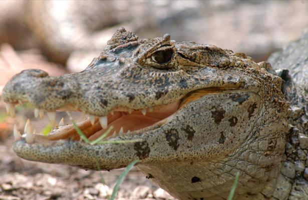 Crean órgano de Gobierno especializado en cocodrilos