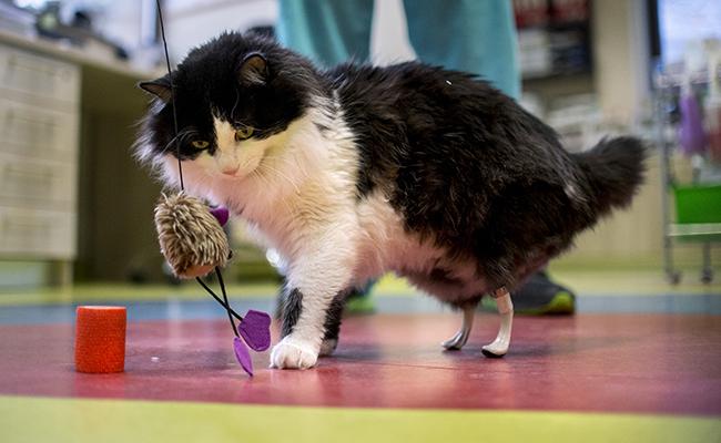 Conoce a Pooh, el primer gatito biónico