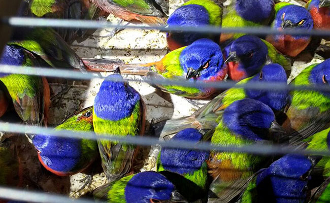 Profepa asegura 490 aves silvestres en Nayarit
