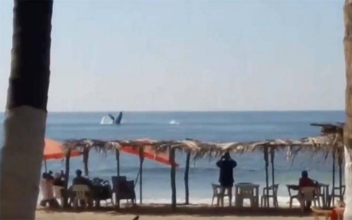 Ballenas sorprenden a turistas muy cerca de Pie de la Cuesta, Acapulco