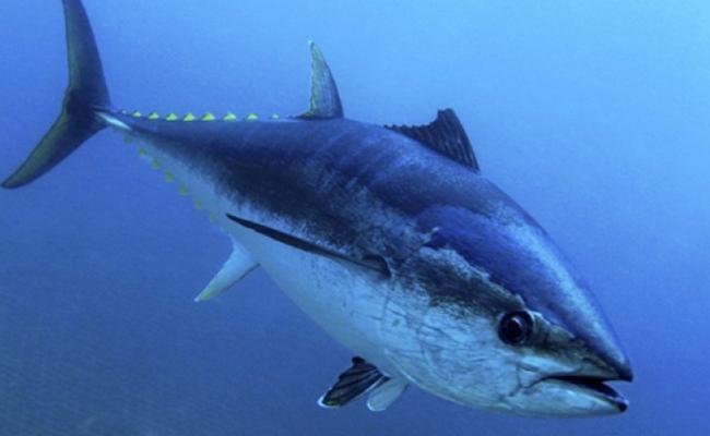 Resolución del atún garantiza sustentabilidad de los recursos pesqueros: Conapesca