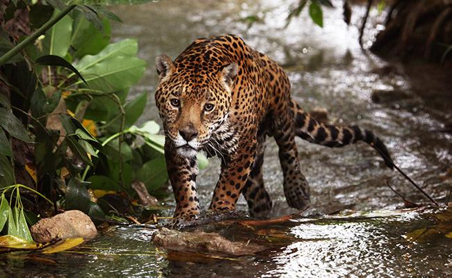 El jaguar, en mayor peligro de extinción de lo que se pensaba