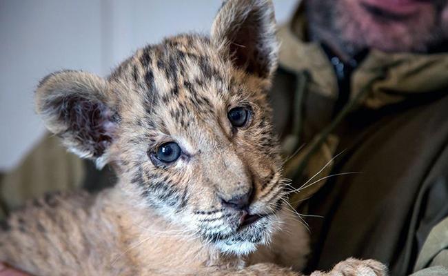 ¿Qué resulta de la cruza de un león y una tigresa? ¡Un ligre!
