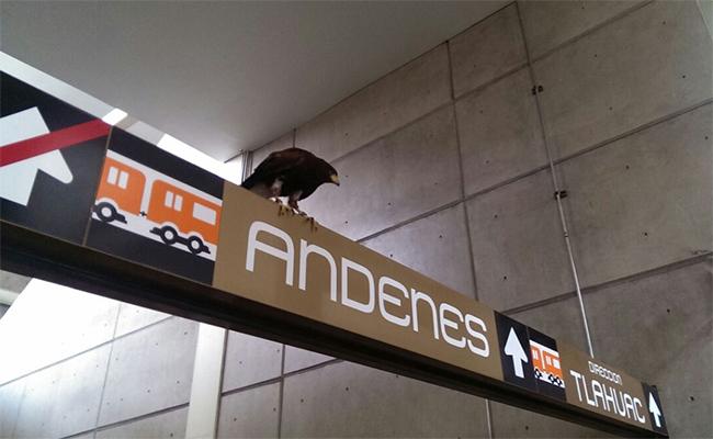 """Águila parada sobre """"Nopalera"""" sorprende en el Metro"""