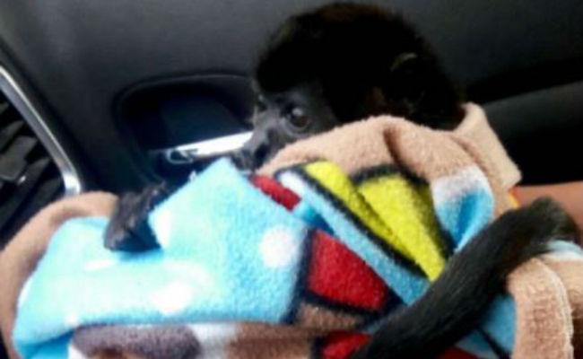 Hallan a mono en peligro de extinción vagando en calles de la GAM
