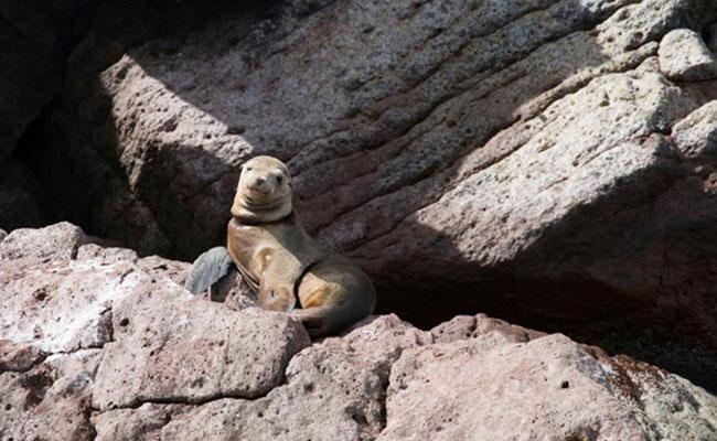 Rescatan a 15 lobos marinos enmallados en Baja California Sur