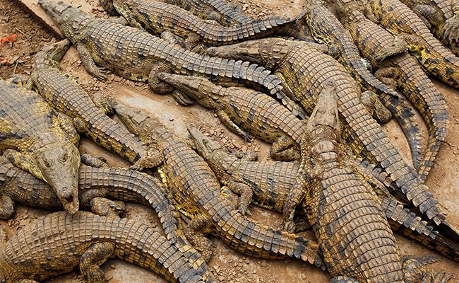 """""""Comparan"""" a lagarto con dinosaurio en Florida"""
