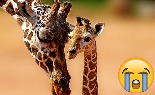 ¡No es broma! Alertan que jirafas están en peligro de extinción