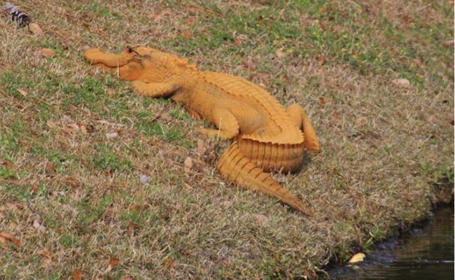 ¿Muy bronceado? Hallan caimán anaranjado en Carolina del Sur