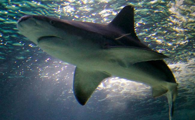 "A falta de lengua, los tiburones usan sus ""hombros"" para comer"