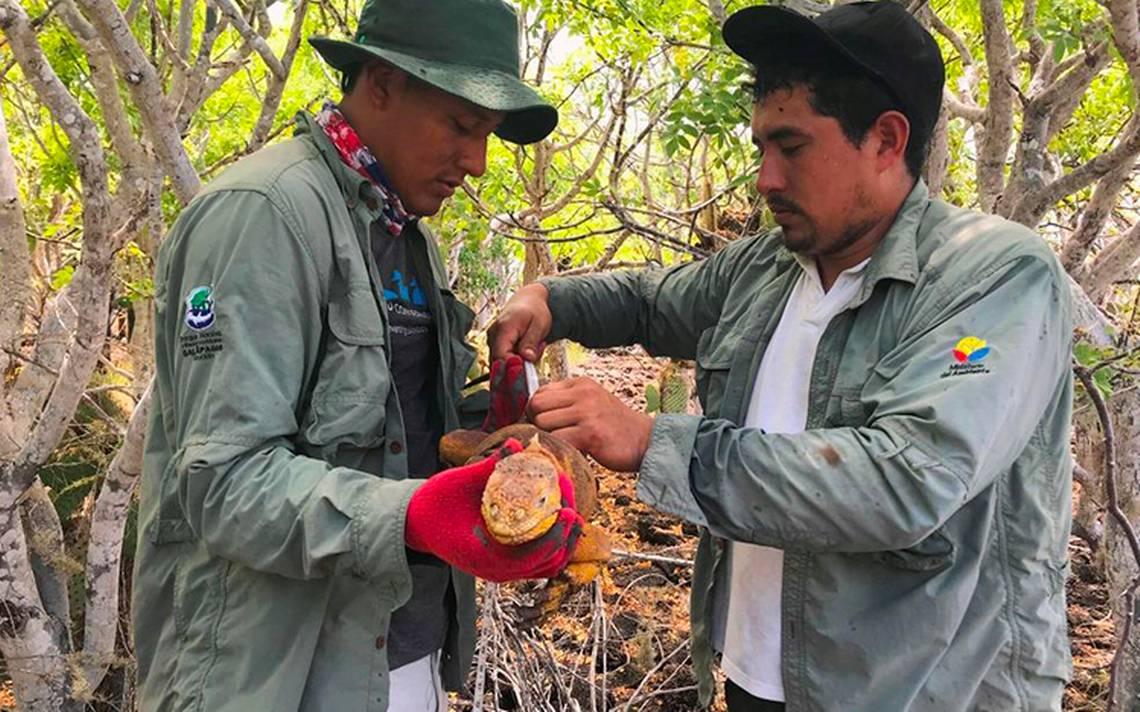 Iguanas de Galápagos en riesgo: las trasladan por escasez de alimento
