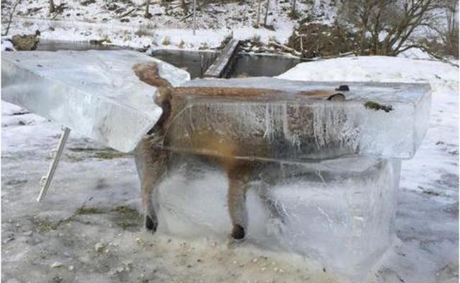 Hallan a zorro congelado en el Río Danubio
