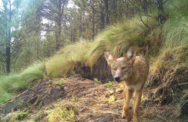 El Pico de Orizaba está sano  y la fauna regresa: Conanp