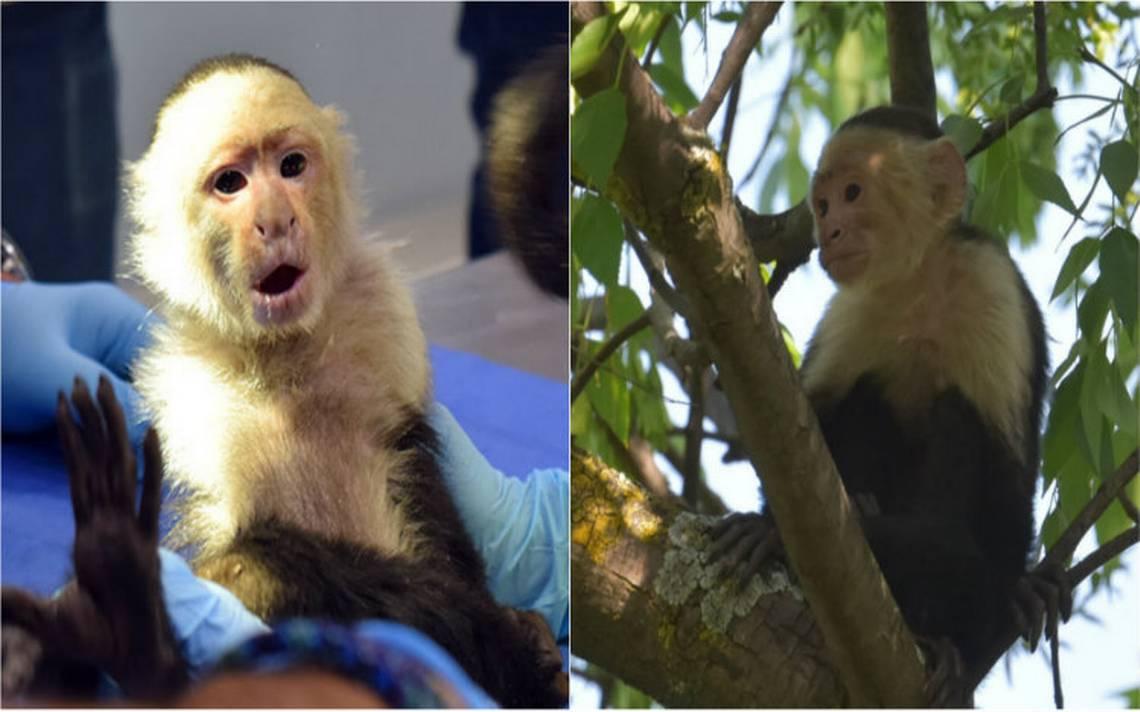 Mejora salud del mono capuchino capturado en Reforma