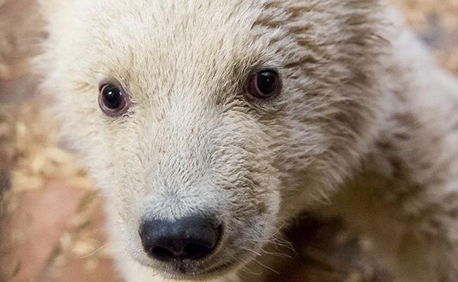 Alemanes de luto por muerte del pequeño oso polar Fritz