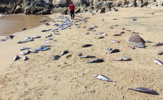 Aparecen miles de peces muertos en playas de Huatulco