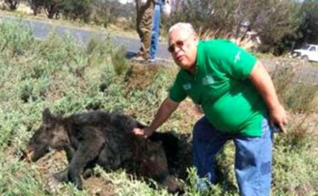 Muere atropellado un oso negro catalogado como especie bajo protección especial