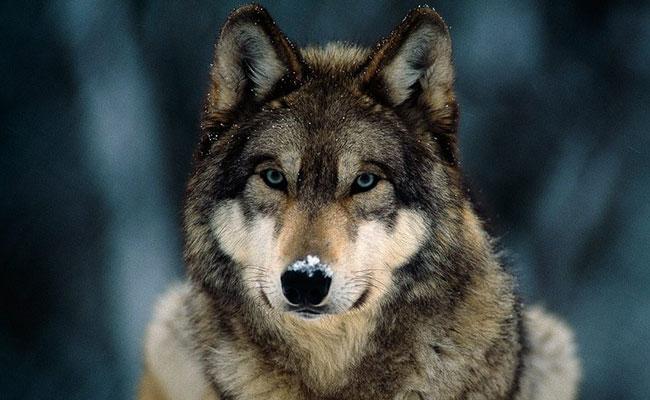 Lobos grises a un paso de ser domésticos por dependencia humana