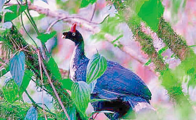 Suman esfuerzos a favor del pavón en Chiapas