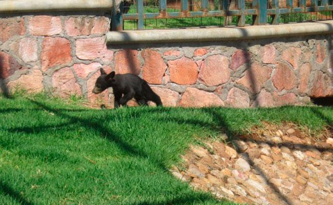 Zacatecas presenta a su primer oso negro en cautiverio