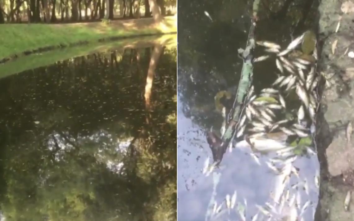 Esta es la razón por la que murieron decenas de peces en lago de Chapultepec