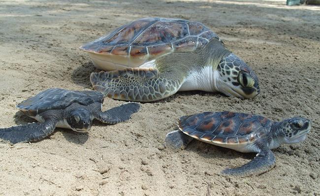 [Video] Concluye en febrero arribazón de tortugas a territorio oaxaqueño