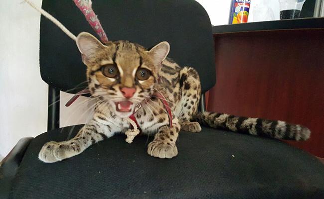 Capturan a leopardo en unidad habitacional de Morelia