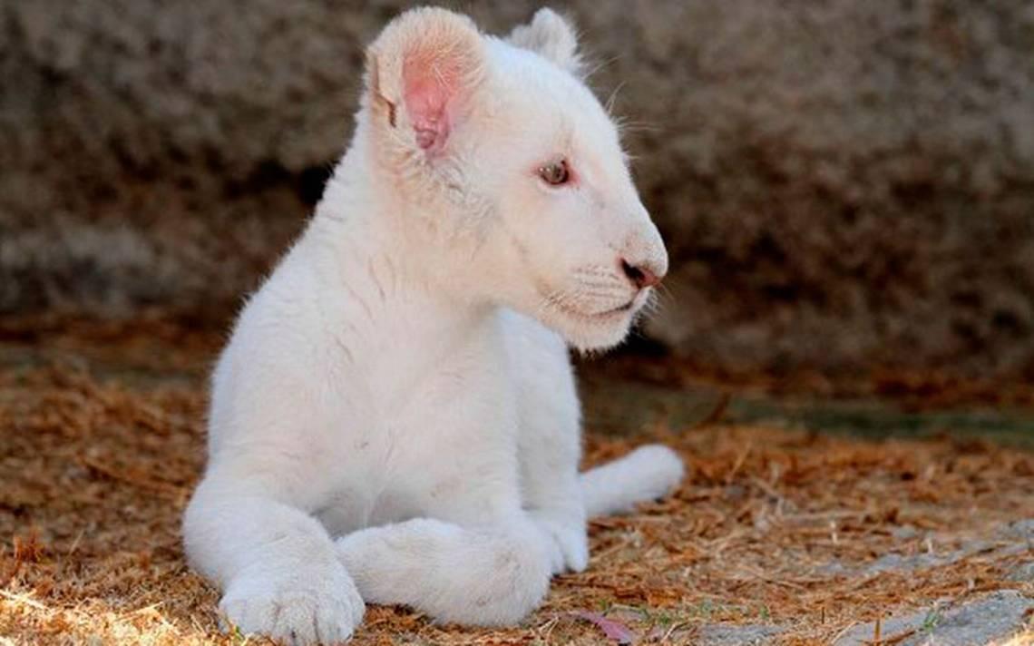 Milagro en Tlaxcala… Por primera vez nace un león blanco en zoológico
