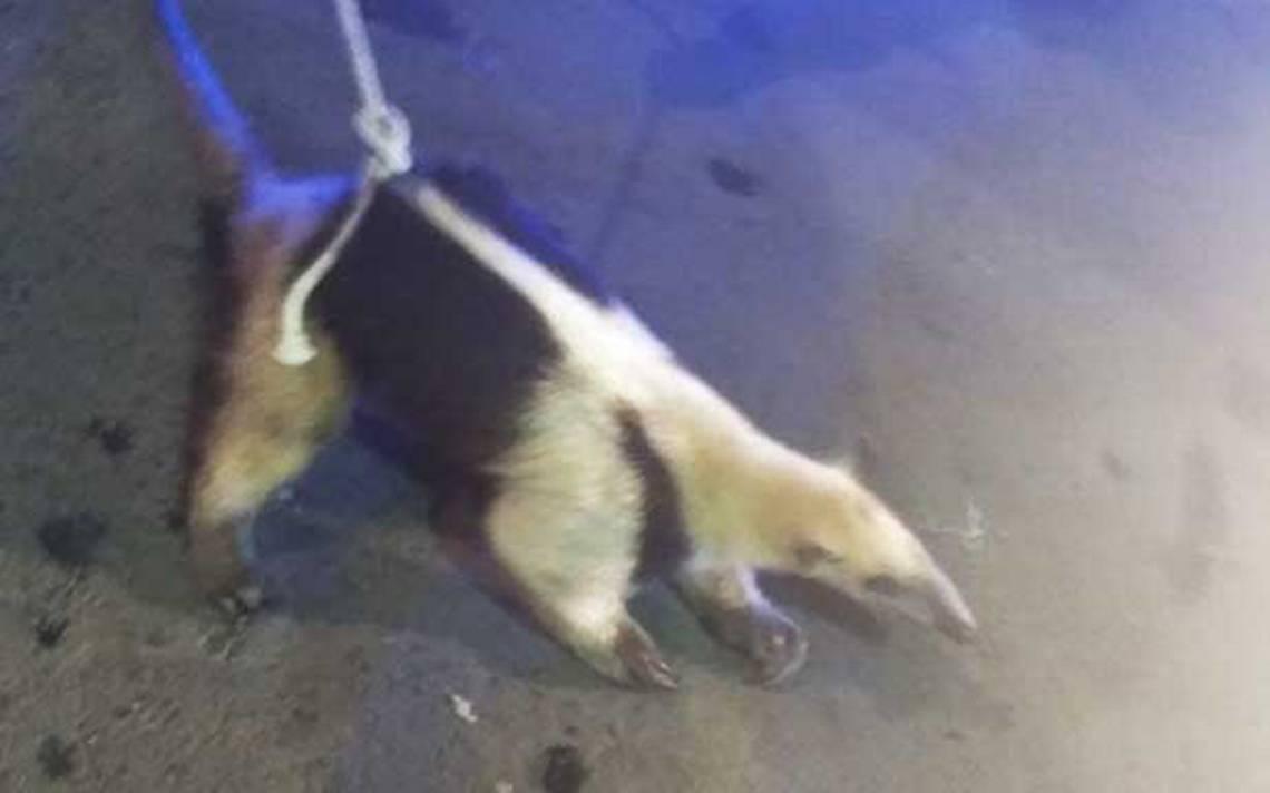 PolicA�as de la CDMX encuentran a oso hormiguero vagando en Tepito